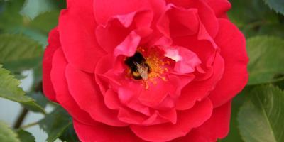 """Плетистая роза """"Фламментанц"""""""
