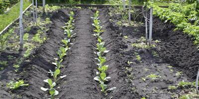 Нуждается ли капуста в удобрениях?