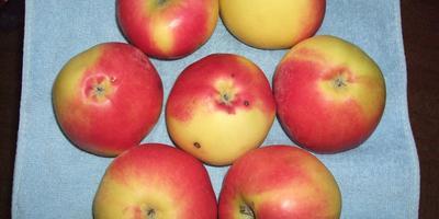 Что за сорт яблок?