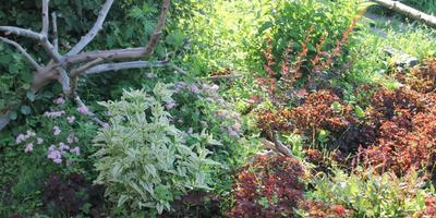 Можно ли кислицу использовать в качестве газонной травы?