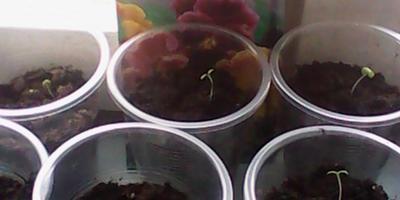 Мои первенцы в этом году: виола и китайская гвоздика