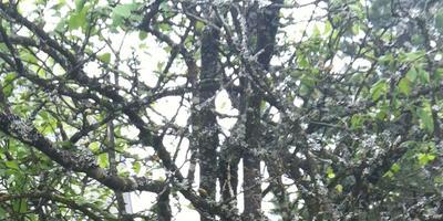 Как бороться с серым лишайником на деревьях?