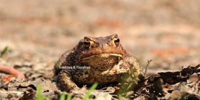 Лягушки и жабы – помощники в наших садах!