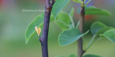 Почернели ветки молодой груши. Что это, есть ли способы лечения?