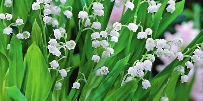 Колокольчики весны — ландыши: уход, особенности и сорта