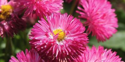 Многолетние маргаритки: сорта, выращивание и уход