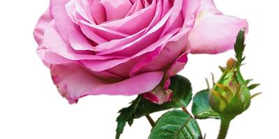 Самые ароматные сорта роз