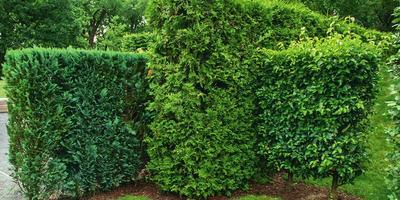 Живая изгородь: 12 образов для зеленого забора