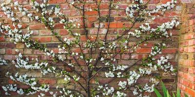 Выращивание плодовых деревьев на шпалерах