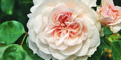 Плетистые розы: сорта, посадка и уход