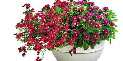 Яркая красота георгин: горшечные композиции для сада