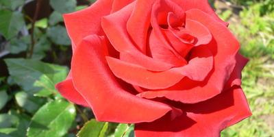 Розы дарят радость все лето!