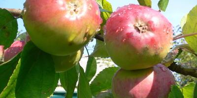 Можно ли выбрасывать гнилые яблоки в компостную яму?