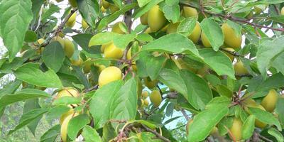 Пользуетесь ли вы ловчими поясами для фруктовых деревьев?