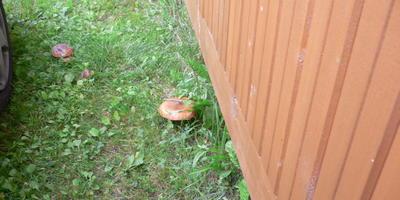 У кого на даче есть грядка с грибами?