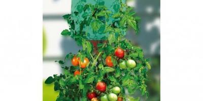 Можно ли сажать помидоры в перевернутые горшки?