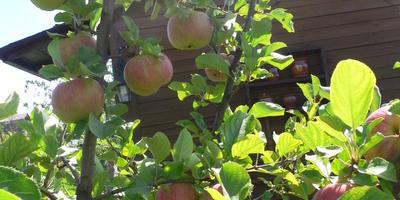 Можно ли по фотографии определить сорт яблок?