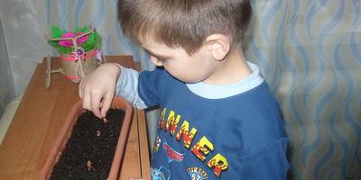 Сынишка садит лук. Мой помощник