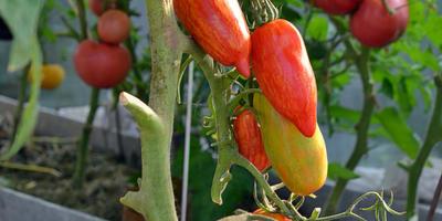 Мои урожайные «Искры пламени»