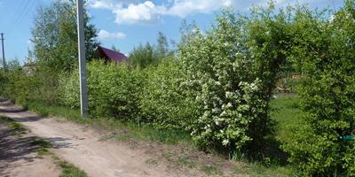 Живая изгородь из дикой вишни