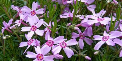 Флокс шиловидный «Дюймовочка» - яркое и пышное украшение сада!