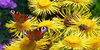 Девясил высокий - и сад украсит, и здоровье укрепит, и урожай сохранит!