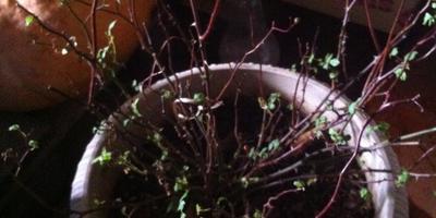 Что необходимо сделать с китайской розой, которая вновь стала выпускать зеленые листья?