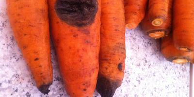На моркови появилась гниль, это болезнь или результат неправильного хранения?