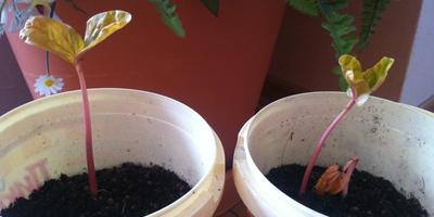 Как сохранить рассаду клещевины до высадки в открытый грунт?
