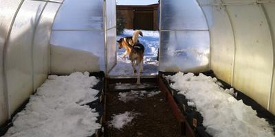 """Мой первый опыт """"подснежной"""" февральской посадки в теплице"""