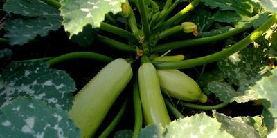Урожайный гибрид с женским именем