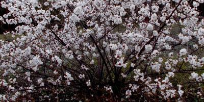 Необычные вишни
