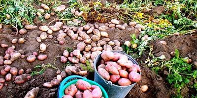 Поговорим о картошке