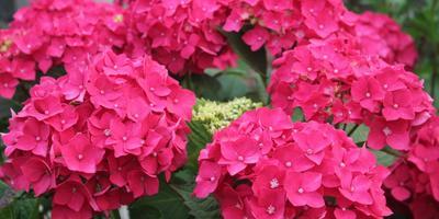 Гортензии в саду цветут и заполняют волшебством пространство