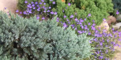 Лобелия ампельная Голубой каскад от посева и до...