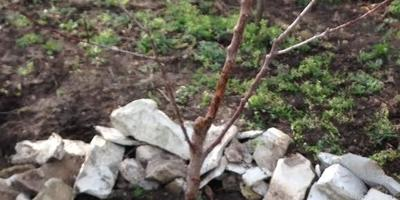 Нужно ли пересаживать саженцы плодовых деревьев, выращенные из косточки?