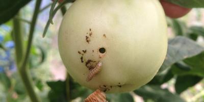Кто-кто в помидорке живет..?!