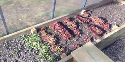 Зимой не до разнообразия... Руккола и салат