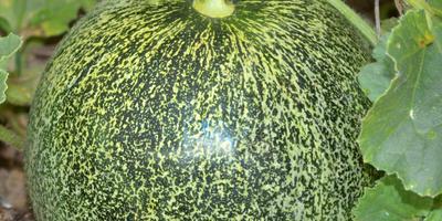 Как вырастить дыню в Нечерноземье