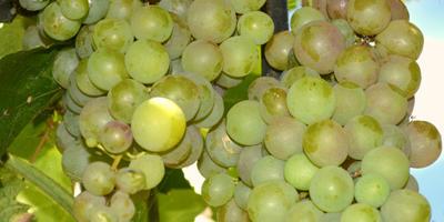 Как вырастить южный сладкий виноград на севере без теплиц