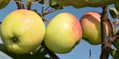 Плодожорка – самый опасный вредитель урожая. Современные методы борьбы