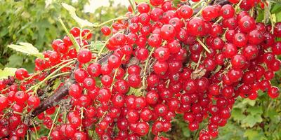 Изюминки красной смородины