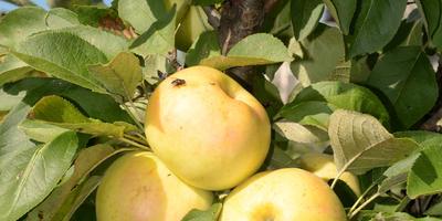 Колонновидные яблони в моем северном саду