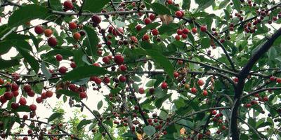 Восстановим вишневые сады на Северо-Западе