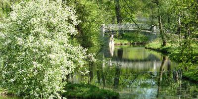 Черемуха Виргинская в саду красавица