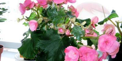Цветут, родимые, и радуют нас