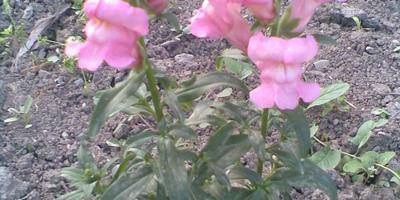 Помогите, пожалуйста,  распознать цветочек