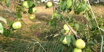 Время разбрасывать яблоки