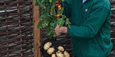 Когда на картофель прививают томат почему плоды не становятся ядовитыми?