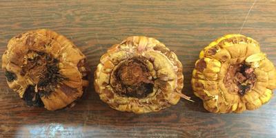 Что сделать, чтобы сохранить луковицы гладиолусов?